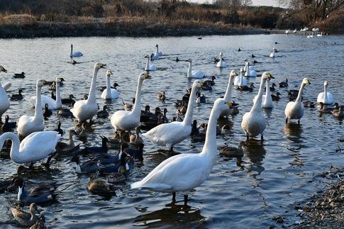 2018-01-20  C-Resized  川島の白鳥越冬地‥ (1).jpg