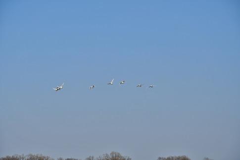 2018-01-21  A-Resized  坂戸の田圃で見かけた白鳥‥ (3).jpg