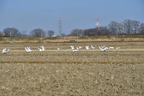 2018-01-21  B-Resized  坂戸の田圃で見かけた白鳥‥ (1).jpg