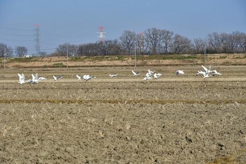 2018-01-21  B-Resized  坂戸の田圃で見かけた白鳥‥ (2).jpg