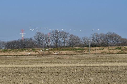 2018-01-21  B-Resized  坂戸の田圃で見かけた白鳥‥ (6).jpg