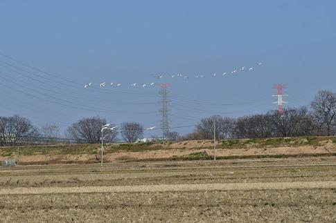2018-01-21  B-Resized  坂戸の田圃で見かけた白鳥‥ (7).jpg