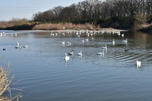 2018-01-21  Resized  川島の白鳥越冬地‥ (12).jpg