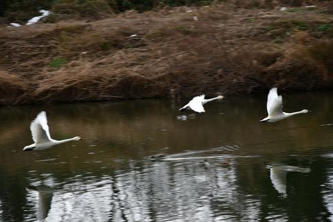2018-02-04  Resized  川島の白鳥越冬地‥ (6).jpg