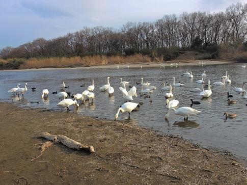 2018-02-25  A-Resized  川島の越冬地の白鳥‥ (3).jpg