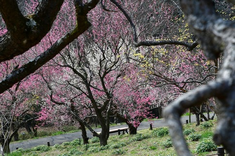 2018-03-11  B-Resized  国営武蔵丘陵森林公園(梅園)‥ (11).jpg