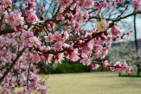 2018-03-11  B-Resized  国営武蔵丘陵森林公園(梅園)‥ (14).jpg