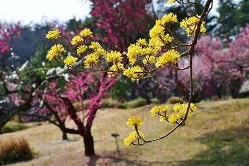 2018-03-11  B-Resized  国営武蔵丘陵森林公園(梅園)‥ (5).jpg