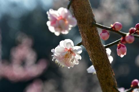 2018-03-11  C-Resized  国営武蔵丘陵森林公園(梅園)‥ (10).jpg