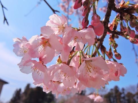 2018-03-18  Resized  早咲きの桜‥ (3).jpg