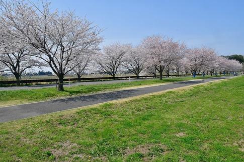 2018-04-01  A-Resized  多々良沼公園‥(群馬県邑楽町)‥ (2).jpg