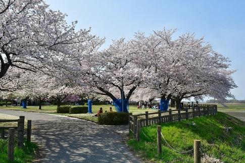 2018-04-01  C-Resized  多々良沼公園‥(群馬県邑楽町)‥ (4).jpg