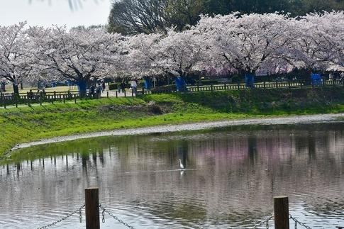 2018-04-01  C-Resized  多々良沼公園‥(群馬県邑楽町)‥ (6).jpg