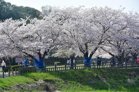 2018-04-01  C-Resized  多々良沼公園‥(群馬県邑楽町)‥ (9).jpg