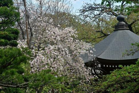 2018-04-08  Resized  十連寺の花まつり‥ (10).jpg