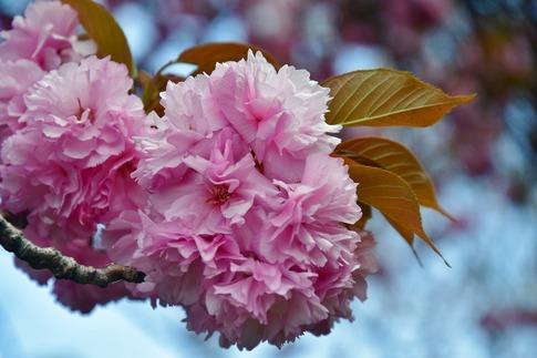 2018-04-08  Resized  十連寺の花まつり‥ (14).jpg