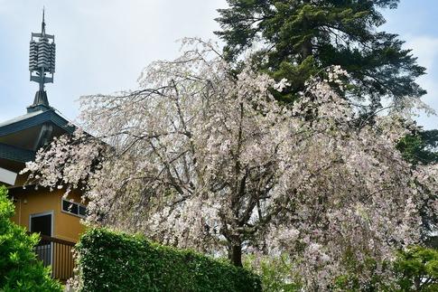 2018-04-08  Resized  十連寺の花まつり‥ (5).jpg