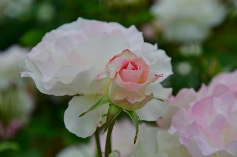 2018-05-06  D-Resized  町政施行記念公園(伊奈バラ園)‥ (14).jpg