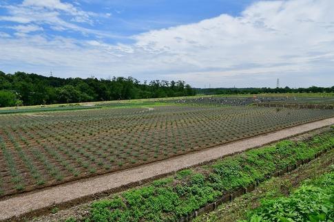 2018-06-24  A-Resized  嵐山町のラベンダー(千年の苑)‥ (12).jpg