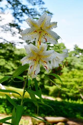 2018-07-29  Resized  ヤマユリ(真夏の武蔵丘陵森林公園)‥ (1).jpg