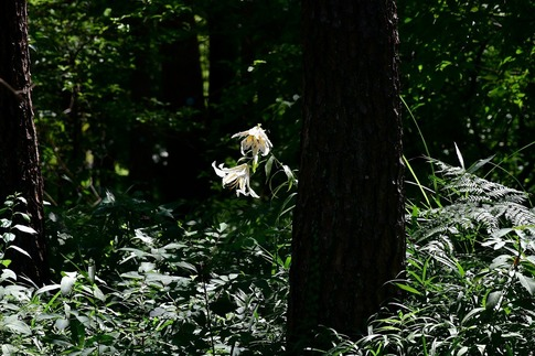 2018-07-29  Resized  ヤマユリ(真夏の武蔵丘陵森林公園)‥ (8).jpg