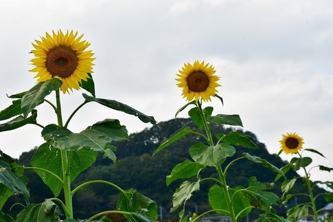 2018-10-06  Resized  ひまわり(群馬県みどり市笠懸町)‥ (1).jpg