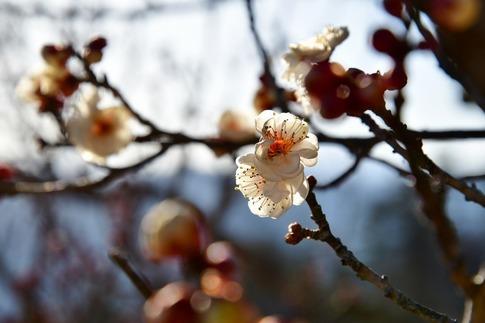 2019-02-02  A-Resized  長瀞宝登山(ロウバイ園)‥ (10).jpg