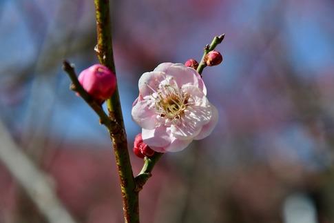2019-02-16  A-Resized  早春の武蔵丘陵森林公園(梅)‥ (1).jpg