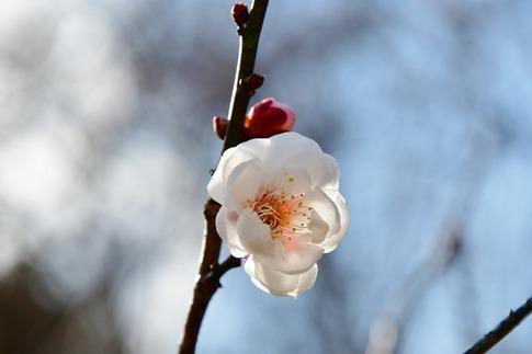 2019-02-16  A-Resized  早春の武蔵丘陵森林公園(梅)‥ (19).jpg