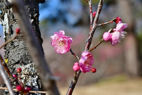 2019-02-16  A-Resized  早春の武蔵丘陵森林公園(梅)‥ (21).jpg