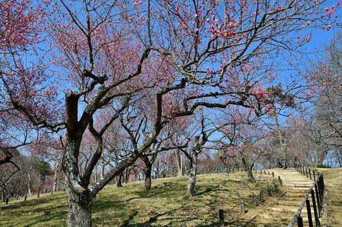 2019-02-16  A-Resized  早春の武蔵丘陵森林公園(梅)‥ (3).jpg
