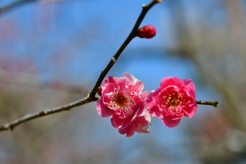 2019-02-16  A-Resized  早春の武蔵丘陵森林公園(梅)‥ (4).jpg
