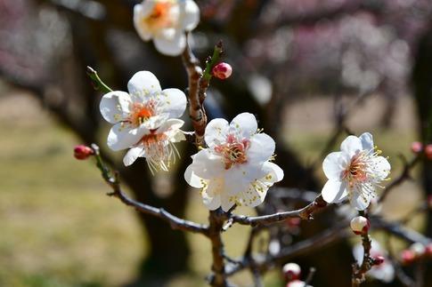2019-02-16  A-Resized  早春の武蔵丘陵森林公園(梅)‥ (5).jpg