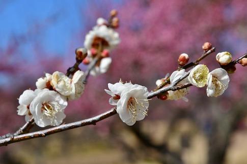 2019-02-16  A-Resized  早春の武蔵丘陵森林公園(梅)‥ (7).jpg