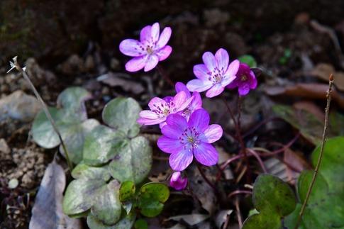 2019-03-09  Resized  早春の武蔵丘陵森林公園(オオミスミソウ)‥ (5).jpg