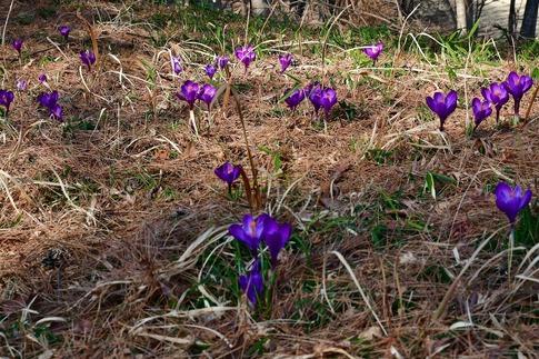 2019-03-09  Resized  早春の武蔵丘陵森林公園(クロッカス)‥ (20).jpg