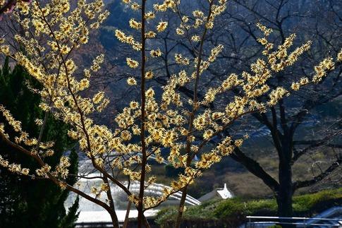 2019-03-09  Resized  早春の武蔵丘陵森林公園(マンサク)‥ (1).jpg