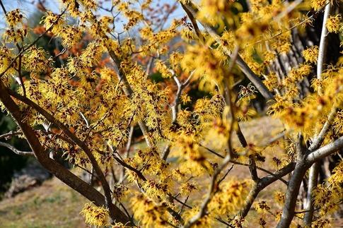 2019-03-09  Resized  早春の武蔵丘陵森林公園(マンサク)‥ (3).jpg