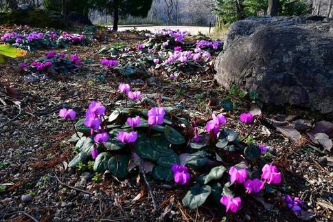 2019-03-09  Resized  早春の武蔵丘陵森林公園(原種シクラメン)‥ (2).jpg