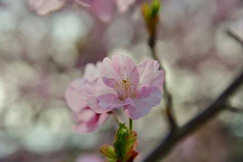 2019-03-17  Resized  河津桜(吉見町浄水場)‥ (3).jpg