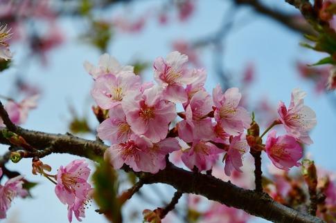 2019-03-17  Resized  河津桜(吉見町浄水場)‥ (5).jpg