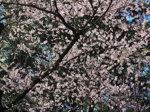 2019-03-24  Resized  北本自然観察センター(エドヒガン桜)‥ (14).jpg