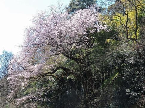 2019-03-24  Resized  北本自然観察センター(エドヒガン桜)‥ (15).jpg