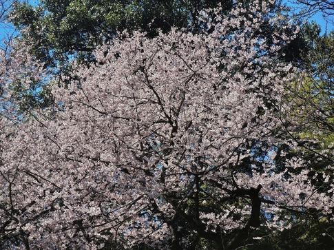 2019-03-24  Resized  北本自然観察センター(エドヒガン桜)‥ (16).jpg