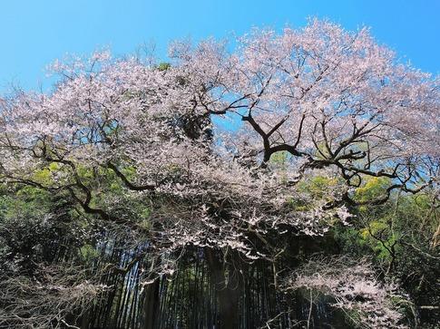 2019-03-24  Resized  北本自然観察センター(エドヒガン桜)‥ (9).jpg