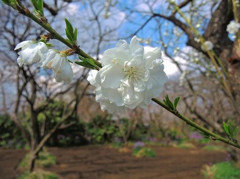 2019-03-31  A-Resized  高尾さくら公園(北本市)‥ (6).jpg
