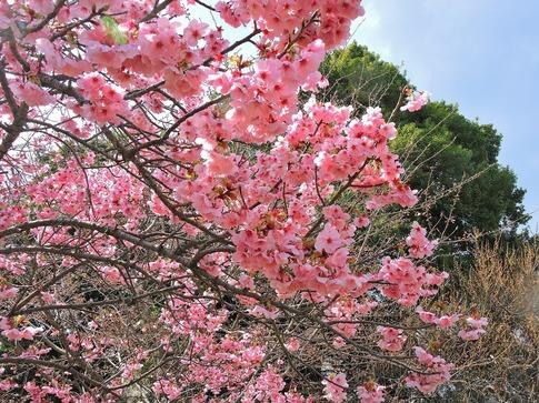 2019-03-31  A-Resized  高尾さくら公園(北本市)‥ (7).jpg