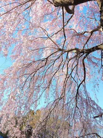 2019-03-31  Resized  石戸宿の三春の滝桜‥(1).jpg