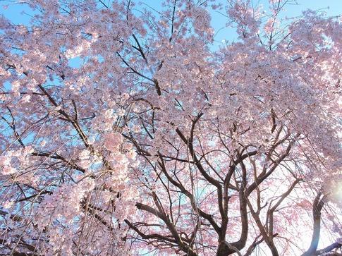 2019-03-31  Resized  石戸宿の三春の滝桜‥(3).jpg