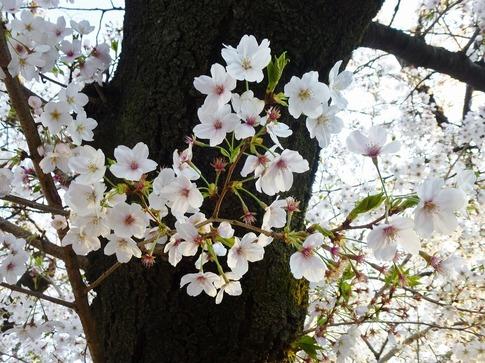 2019-04-04  Resized  上野公園‥ (4).jpg